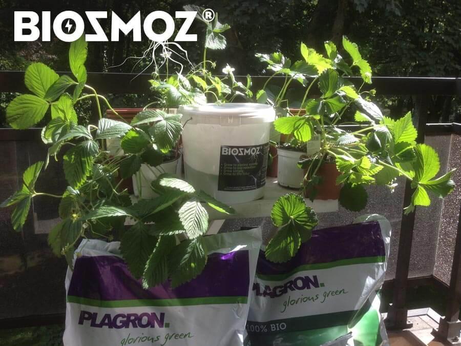 Cultiver facilement des fraises sur son balcon