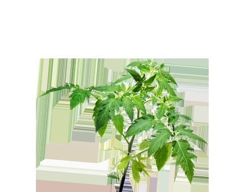 Tomate 8